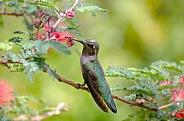 Hummingbird in the Fairy Duster