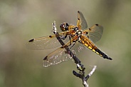 Libellula quadrimaculata