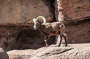 A big horned sheep