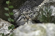 Manul/Pallas Cat Looking Out Of Hiding Place In Rocks