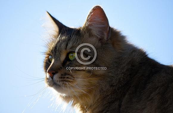 Domestic Longhair Cat