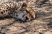 Cheetah on ground