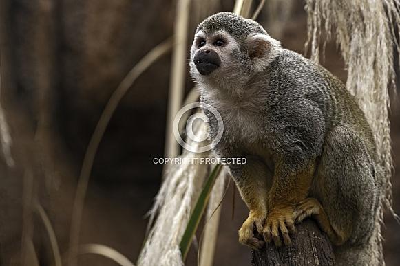 Squirrel Monkey Sitting Planning Next Jump