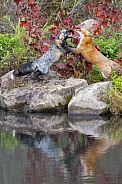 Red Fox and Cross Fox