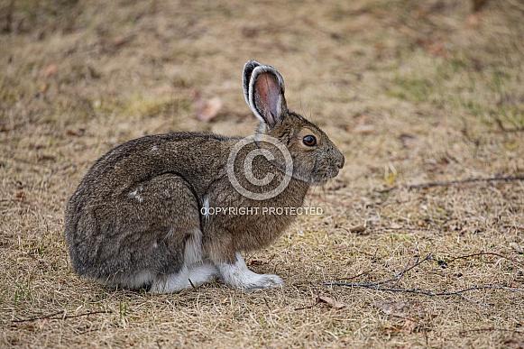 Snowshoe Hare in Alaska during Spring