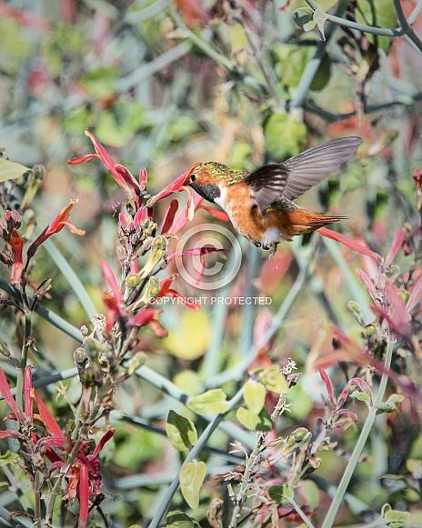 Allen's Hummingbird (Male)