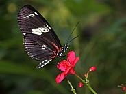 Doris longwing (Heliconius doris)
