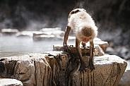 Macaque Snow Monkey