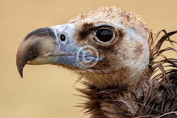 Eurasian Black Vulture Head Shot Close Up