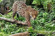 Jaguar, full shot, walking across log