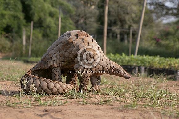 Indian Pangolin or Anteater (Manis crassicaudata)