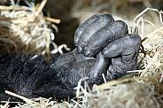 Hand of a chimpanzee