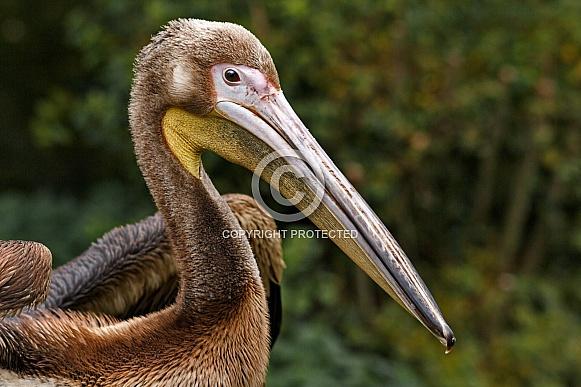 Juvinile Great White Pelican
