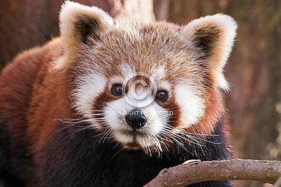 Red Panda Face Shot Close Up