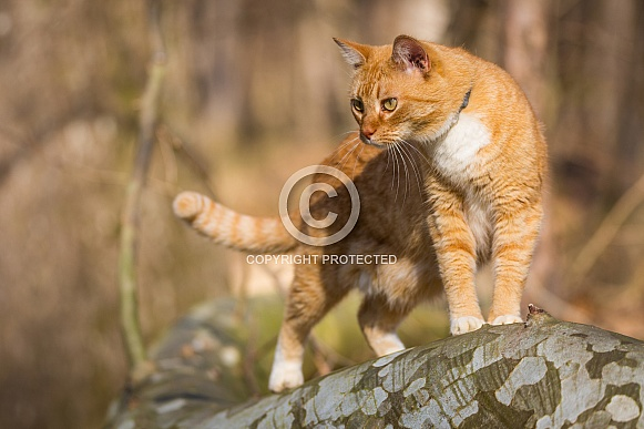Domestic Shorthair Ginger and White Cat