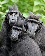 Sulawesi crested macaque (Macaca nigra)