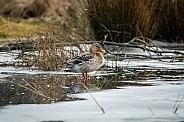 Mallard duck standing on ice