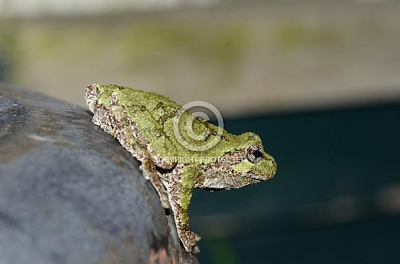 Eastern Tree Frog