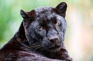 Black Panther (Leopard)
