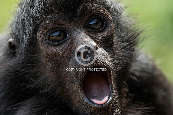 Spider Monkey Mouth Open