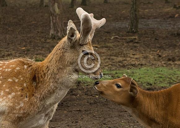 Persian Fallow Deer & Banteng Calf