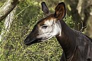 Okapi Female Side Profile Close Up