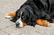 Bernese dog
