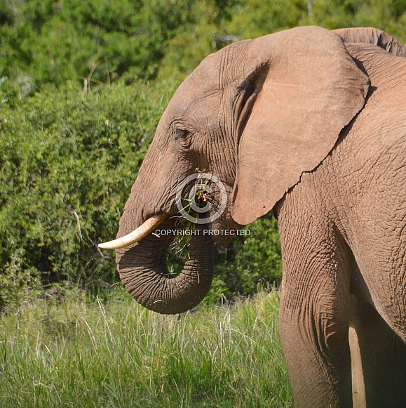 A Quick Snack. African Elephant