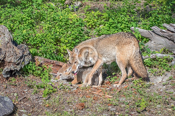 Coyote - Female with Pup