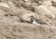 Turnstone (Winter Plumage)