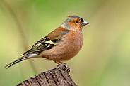 A Male Chaffinch