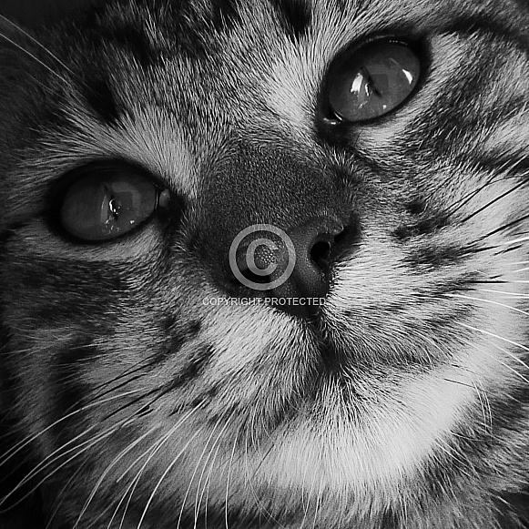 European Shorthaired Cat