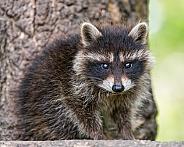Young Raccoon