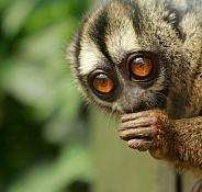 Grey-Legged Douroucouli (Aotus lemurinus griseimembra)