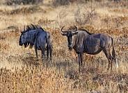 Blue Wildebeest - Namibia