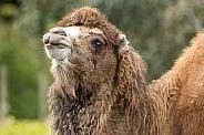 Bactrian Camel Side Profile