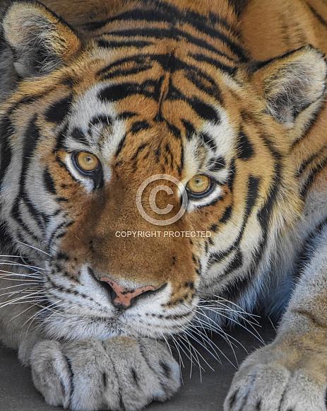 Amur Tiger Close