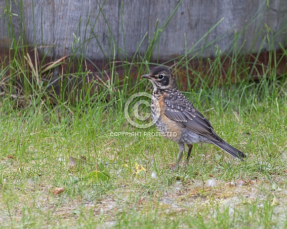 Juvenile American Robin Standing on the Ground