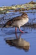 Egyptian Goose - Chobe River - Botswana