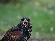Harris's Hawk (Juvenile)