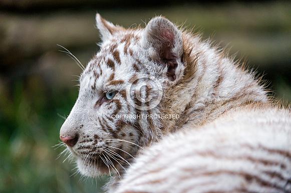 WhiteTiger Cub