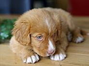 Retriever puppy