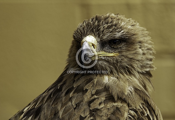 Tawny Eagle Close Up Looking Left
