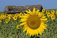 Sunflowers - South of France