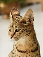 Savannah Cat, F1
