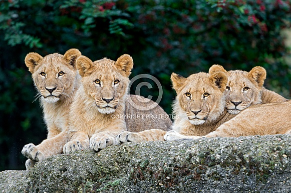 Four Lion Cubs