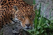 Jaguar Face Shot, Looking Upwards.