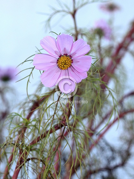 Pale Pink Cosmos Flower