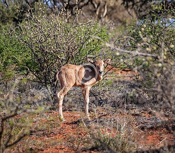 Baby Gemsbok Antelope