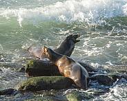 Sea Lions Barking